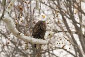 Bald Eagle Perched On A Limb