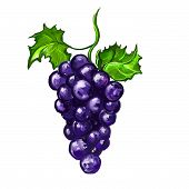 grapes fruit Vector illustration  hand drawn  painted
