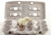 Baby chicken in carton