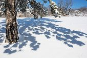 Evergreen Tree And Shadow In White Snow