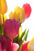 Close Up Of Sunny Tulip Bouquet Or Flower Meadow