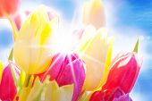 Close Up Of Tulip Flower Meadow With Water drop And Sunny Blue Sky
