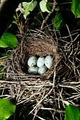 Nest Of A Hawfinch, Coccothraustes
