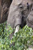 Huge African Elephant Bull