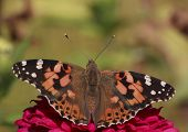 Painted Lady Butterfly