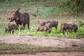 Warthogs Near A Water Hole