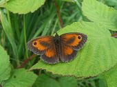 picture of gatekeeper  - Hedge Brown or Gatekeeper male butterfly on brambles - JPG