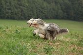 pic of collie  - Two amazing bearded collies running together in summer - JPG