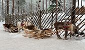pic of laplander  - Two Christmas reindeer sleigh in Lapland - JPG