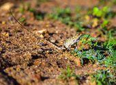 picture of chameleon  - Chameleon in the wild on the island of Sri Lanka - JPG