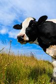 stock photo of sea cow  - Curious Holstein Frisian cow standing in field - JPG