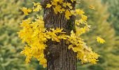 Yellow maple leaves trembles around a trunk.