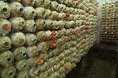 stock photo of spawn  - Pink oyster mushroom  - JPG