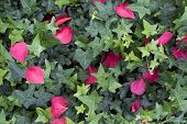 Green Ivy And Pink Camellia Petals