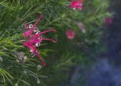 Juniper Grevillea With Pink Flowers.