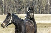 pic of  horse  - Horse leaning its head on another horse - JPG