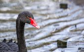 picture of black swan  - Black Swan spotted in London - United Kingdom ** Note: Visible grain at 100%, best at smaller sizes - JPG