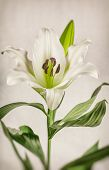 White Lily Plant with vintage toning
