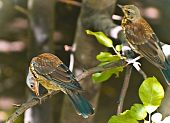 Song Thrush (turdus Philomelos)