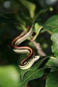 Garder Snake