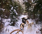 stock photo of sled-dog  - A dog sled team stopped in the forest waiting for the sled to release so that they continue to run - JPG