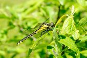 Ophiogomphus Cecilia. Dragonfly On The Green Leaves Background