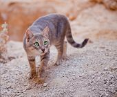 Wild Cat Approaching