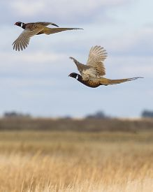 pic of roosters  - A Pair of Rooster Pheasants in flight over the prairie - JPG