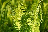 stock photo of fern  - Young fern plants with back sunlight - JPG