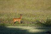 stock photo of roebuck  - a wild roebuck standing in the meadows - JPG