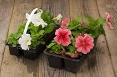 pic of petunia  - Two plastic flowerpots with white and pink petunia seedlings on the aged wooden table.