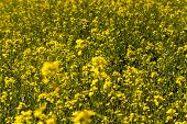 stock photo of rape  - an agricultural field in which rape blossoms - JPG
