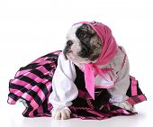 stock photo of pirate girl  - dog dressed up like a pirate on white background  - JPG