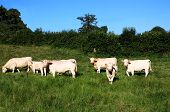 stock photo of charolais  - Charolais cows and a calf graze in a lush summer pasture in soft late evening sunlight - JPG