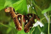 Underside Of An Atlas Moth
