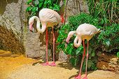 foto of pink flamingos  - two pink flamingos in a tropical pond - JPG