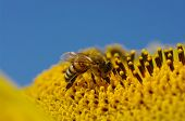 stock photo of sunflower  - bee collects pollen in the sunflower  - JPG
