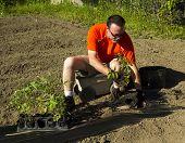 stock photo of tomato plant  - A organic farmer planting a tomato plant - JPG
