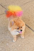 image of miniature pomeranian spitz puppy  - pomeranian dog cute pet in home, colourful tail