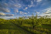 image of apple orchard  - Nice and juicy apple orchard in the evening at sunset - JPG