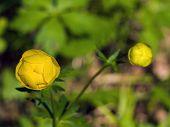 stock photo of yellow buds  - Yellow globe - JPG