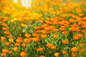 image of marigold  - Marigold flowers in the meadow in the sunlight - JPG