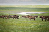 picture of herd horses  - Herd of wild horses in a field - JPG