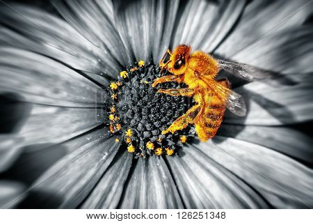 Close-up photo of a cute little yellow bee sitting on a daisies flower, honeybee collecting the poll