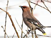 Waxwing, Eating Up A Willow Bud.