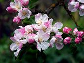 picture of apple blossom  - cluster of pink dainty apple blossoms - JPG