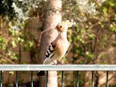 Or Yehuda Hoopoe 2011