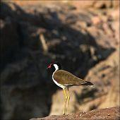 Vanellus Indicus.