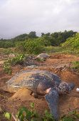 stock photo of sea-turtles  - a leatherback sea turtle and green sea turtle come to nest next to each other at galibi nature reserve in suriname south america - JPG