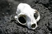 pic of scoria  - an animal skull bleached by the sun on rangitoto island hauraki gulf new zealand - JPG